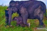 Anak gajah sumatera lahir di PLG Suaka  Margasatwa  Padang Sugihan