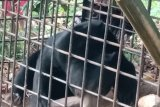 Akhirnya.. beruang madu yang resahkan masyarakat Ketinggian masuk perangkap BKSDA