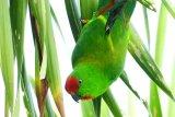 Yayasan KOMIU Sulteng  teliti 109 burung hidup di hutan Sulteng