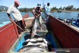 Ikan Tuna Kualitas Ekspor