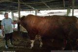 Sapi peternak Agam seberat 1,3 ton calon hewan kurban Jokowi