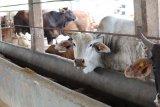 Disnakeswan Lampung imbau pelaksanaan pemotongan hewan kurban harus sesuai prokes