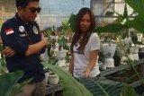 Sulut ikut jadi pengekspor bunga Alocasia ke sembilan  negara