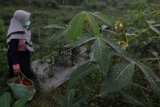 Abu vulkanik Gunung Merapi