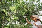 Naiknya Harga Jeruk Manis Lokal Keerom Papua