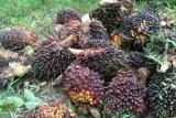 Harga kelapa sawit di Mesuji Lampung turun Rp100/kg