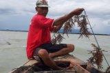 Lampung  dorong peningkatan produktivitas budi daya rumput laut