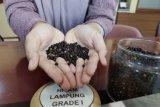 Petani lada Lampung harapkan harga biji lada stabil