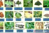 Menjaga kesehatan dengan  tumbuhan tradisional saat pandemi