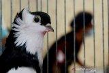 Kontes burung merpati hias di Makassar