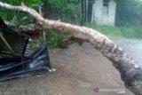 Hujan deras di Ambon sebabkan listrik padam akibat pohon tumbang