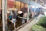 Pedagang hewan kurban di Palangka Raya 'banjir' pembeli