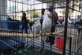 Polda DIY meringkus dua penjual satwa dilindungi