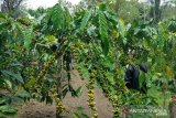 Kabupaten Rejang Lebong galakkan program kopi sambung