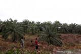 Harga sawit di Mukomuko naik Rp30/kg
