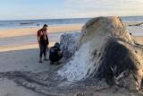 Nelayan temukan mamalia diduga paus sperma di pantai Sumba Tengah