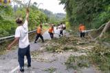 Jalan Matua-Padang Lua Agam tertutup  pohon tumbang