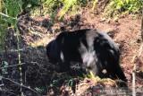 Beruang madu terjerat di kebun warga berhasil diselamatkan