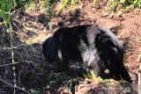 Seekor Beruang Madu terjebak dalam jeratan babi di Dumai