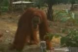 Tim cari orangutan masuk  perkampungan warga Indragiri Hulu