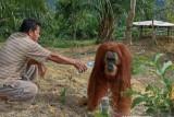 Kabur dari TNBT, Orangutan bernama Rocky masih berkeliaran bebas