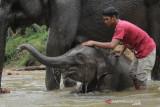 Anak gajah Sumatera jinak usia empat tahun mati di Aceh