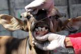 Dinas Peternakan Sulsel rilis sekitar 6.000 hewan tidak layak kurban