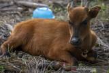 Penyelamatan Satwa Endemik Anoa