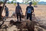 Polisi bubarkan sabung ayam di Plampang, pejudi lari kocar-kacir ke sawah