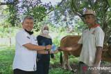 Mari rawat sapi betina produktif, ada insentif Rp500 ribu dari Dinas Pertanian Padang