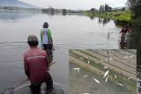 Warga ramai-ramai menangkap ikan Danau  Diatas yang tiba-tiba jinak