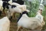 Pedagang hewan qurban di Palembang  mulai terima pesanan