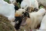 Kemenag Sumsel imbau masyarakat lakukan qurban di rumah potong hewan