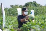 Bupati Kuansing ajak masyarakat tanam melon di lahan kosong