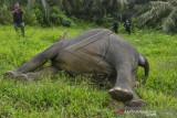 Gajah Sumatera Mati Dibunuh