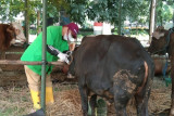 Tata cara penyembelihan hewan kurban selama pandemi