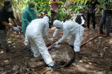 Satu ekor gajah sumatera ditemukan mati tanpa kepala di Aceh Timur