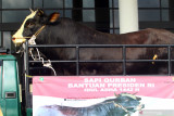 Jokowi siapkan 35 sapi untuk kurban