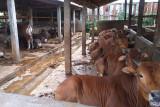 Jelang Idul Adha, peternak di Desa Datar Banyumas kebanjiran pesanan hewan kurban