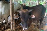 MUI Jateng sarankan penyembelihan hewan kurban di RPH