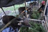 Pekerja memberikan pakan ternak sapi untuk hewan kurban yang dijual di kawasan Mahendradata, Denpasar, Bali, Jumat (16/7/2021). Menurut pedagang, menjelang hari raya Idul Adha 1442 H permintaan hewan kurban berupa kambing dan sapi yang dijual dengan harga Rp2,6 juta hingga Rp21 juta tersebut mengalami penurunan hingga 60 persen akibat pandemi COVID-19. ANTARA FOTO/Fikri Yusuf/nym.
