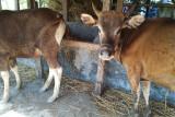 DP2 Makassar periksa daging hewan kurban sebelum didistribusi