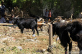 Permintaan hewan kurban di Kota Kupang turun