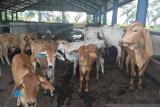 Sulteng  targetkan 1.000 semen beku IB tingkatkan populasi ternak
