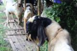 Disnakeswan Lampung pastikan hewan kurban di Lampung sehat