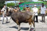 Pemkab Mura bagikan 10 sapi kurban untuk sembilan kecamatan