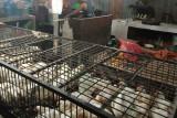 Harga ayam potong di Mamuju melonjak jelang Idul Adha