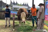 Presiden Jokowi Mengkurbankan Sapi 1,2 Ton di Masjid Raya Sumbar