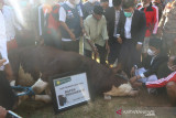 Presiden Jokowi membeli sapi kurban dari peternak Lombok Timur