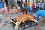 Cara baru pemotongan hewan kurban Pekanbaru jadi tontonan warga